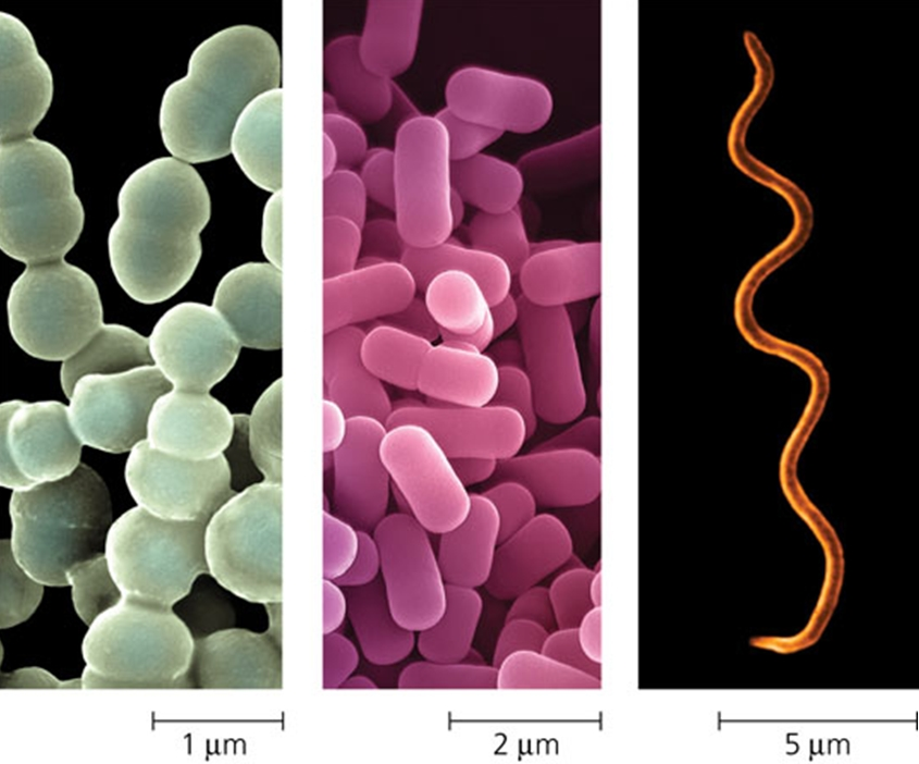 Bacteria types and Sizes