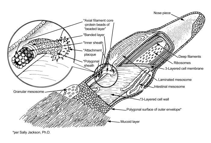 treponema pallidum  u00bb atypical bacteria  u00bb pathogen profile
