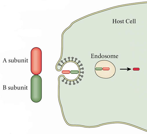 a b toxin entry into host cell