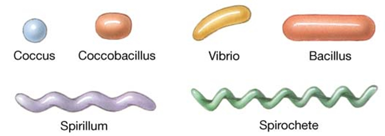 Bacterium Shapes