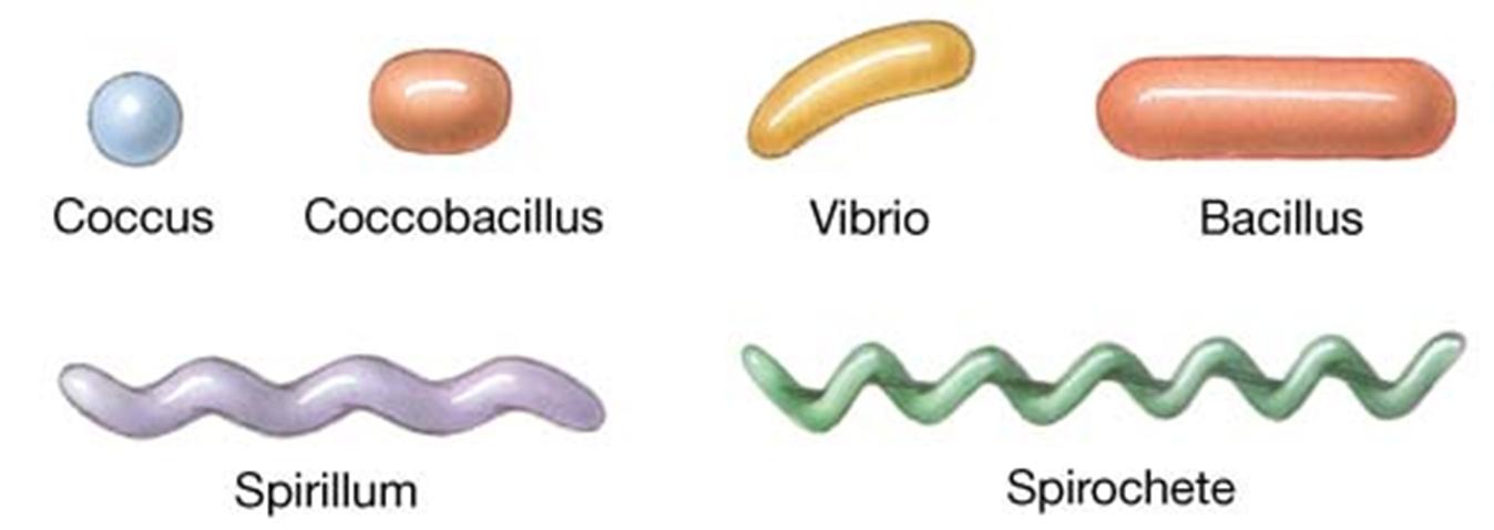 Gram negative bacteria pathogen profile dictionary bacterium shapes ccuart Gallery