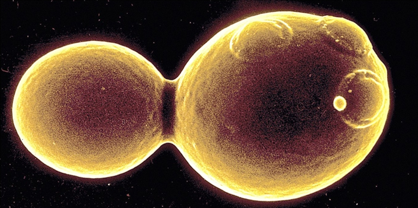 Biology Pictures Budding Yeast Picture