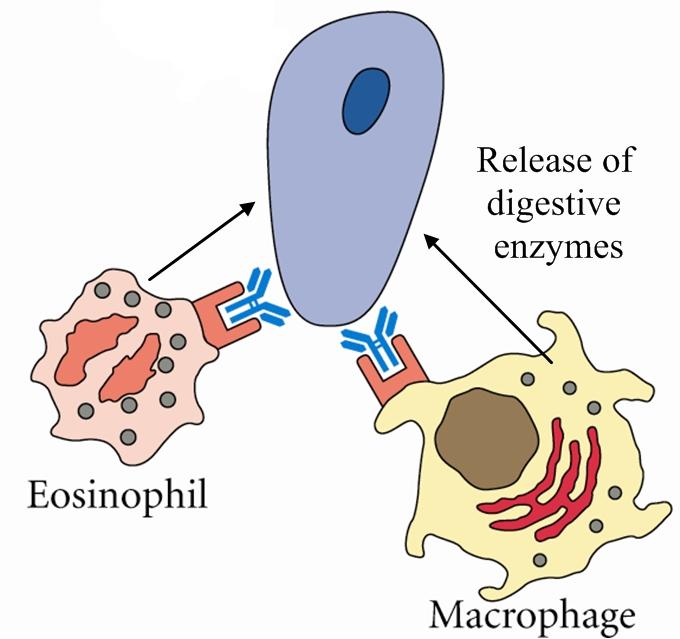 Immune Effectors » Protozoan And Helminth Parasites