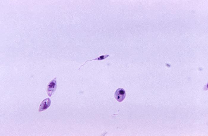 binary fission in leishmania - photo #44