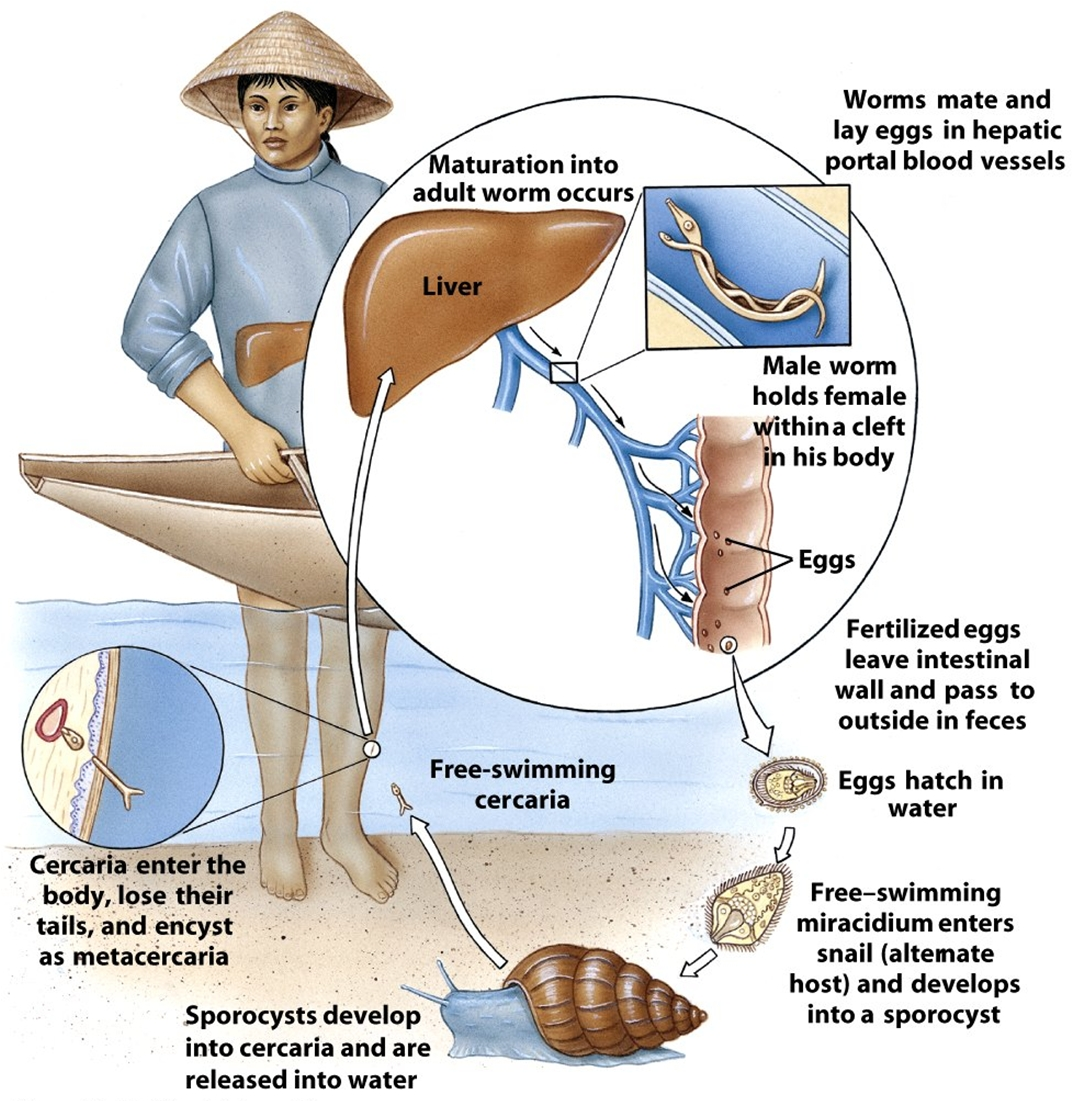 Schistosoma Life Cycle