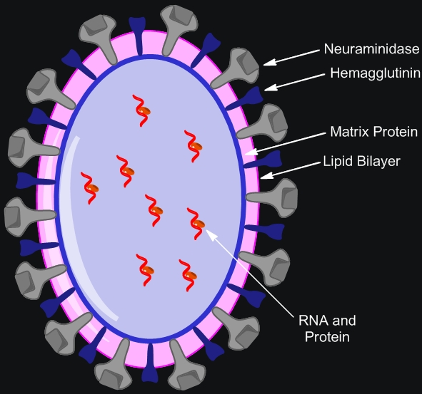 overview of the threat of the avian flu virus Two additional concerning pandemic threats emerged in late 2012 and early 2013: avian influenza h7n9, and novel coronavirus (mers-cov, not an influenza virus, but related to the virus that caused sars and to coronaviruses in bats.
