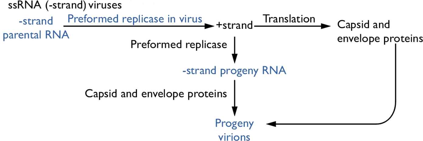 Rhinovirus Viruses Pathogen Profile Dictionary
